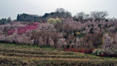 20070413_hanamiyama_01