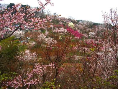 20070413_hanamiyama_02