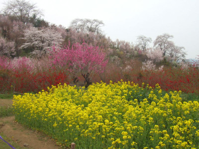20070413_hanamiyama_09